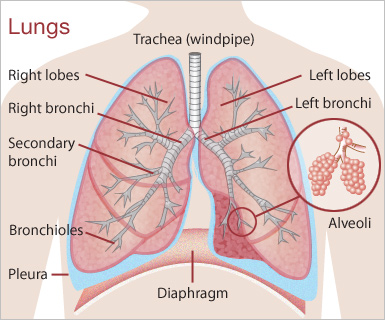 28+ [ Lung Function Diagram ] | gallery for gt cystic ... Lungs Diagram on costal surface of lung, lung nodules, lung drawing, mediastinal surface of lung, clara cell, lung lobes, lung infection, conducting zone, lung model, respiratory bronchiole, bronchopulmonary segment, lung structure, lung hilum, base of lung, borders of lung, apex of lung, alveolar duct, horizontal fissure of right lung, lingula of left lung, lung cartoon, lung cross section, lung function, lung health, lung segments, lung apex, lung animation, lung disease, root of the lung, oblique fissure, lung force, cardiac notch, lung bleb, terminal bronchiole, hilum of lung, lung tree birds, right lung, lung mri, lung volumes, pulmonary alveolus,